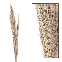 Besengras / Broom Gras white wash 35438 Thysanolaena 90-100cm Tiger Gras